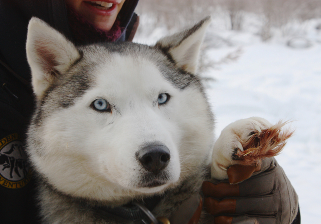sled-dogs-2