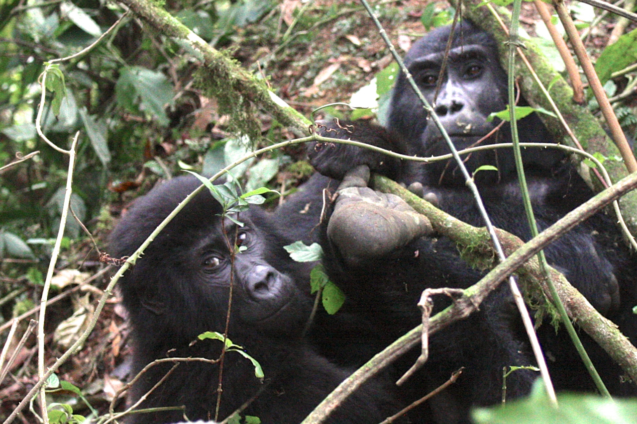 gorillas by Christina Newberry